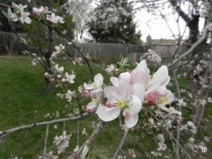 285_16spring_apple.jpg